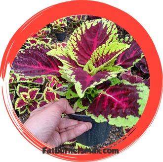 Coleus Forskohlii Plant