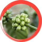 Green Coffee Extract (GCE)