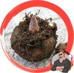 Glucomannan Konjak Root