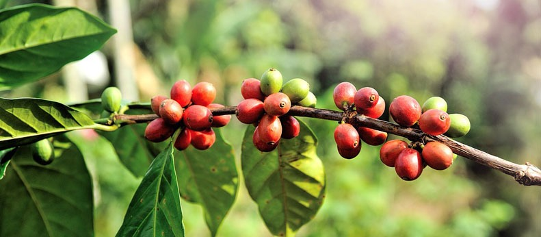 History of Green Coffee Bean Extract