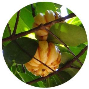 Pure Garcinia Cambogia Extract HCA